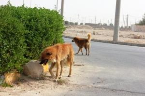 تصویر گشت و گذار سگهای ولگرد در محمد شهر